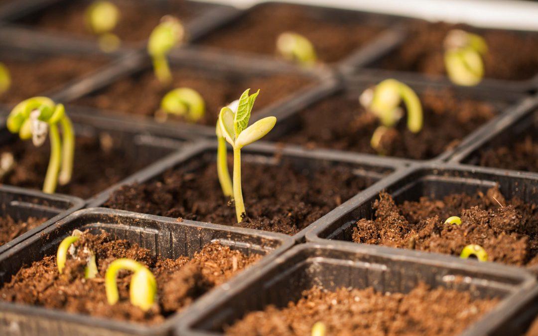 Jungpflanzenanzucht in der Gärtnerei – was sind samenfeste Sorten?