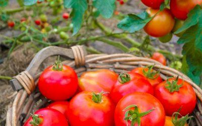 Tomaten zum Einmachen